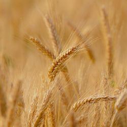 https://bylge-images.s3.amazonaws.com/wheat-3241114_1920.jpg